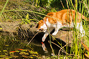 Pet cat fishing for goldfish in a garden pond, Brisbane, Queensland, Australia