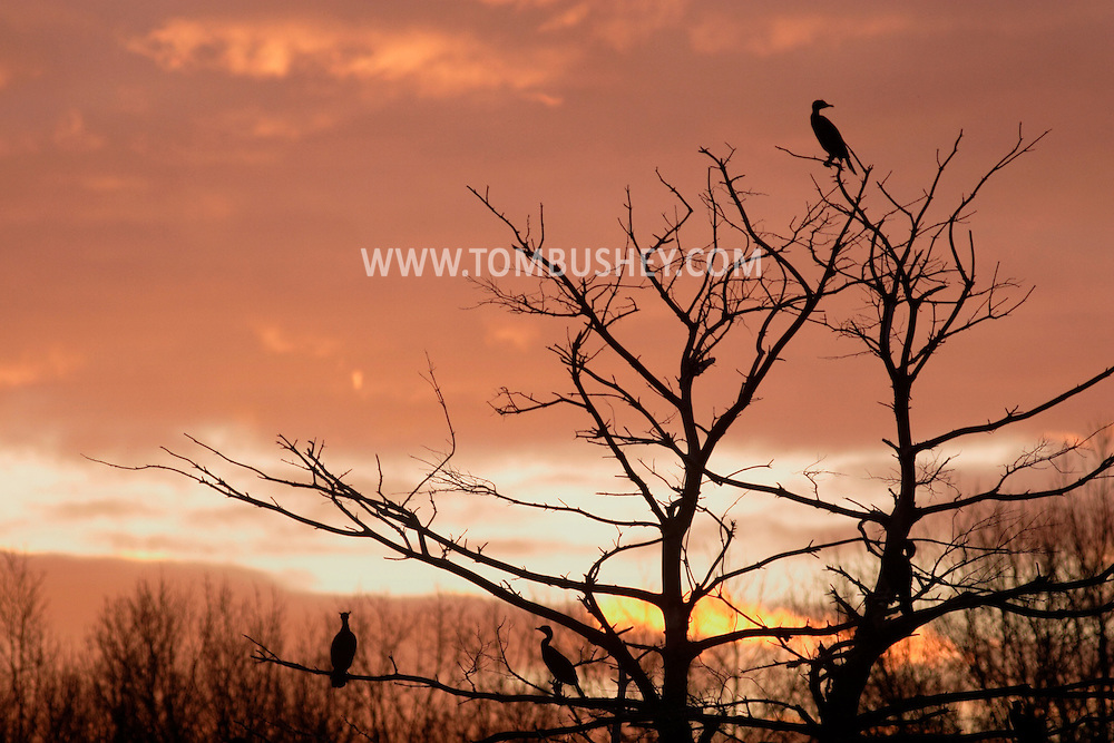 Middletown, NY - Cormorants perched in a tree are silhouetted against colorful clouds at sunset on April 19, 2007.