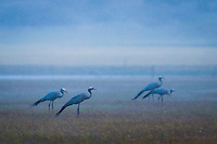 Blue crane flock standing in an open field during heavy rain, Overberg, Western Cape, South Africa