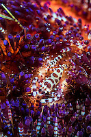 Coleman Shrimp pair perched on a Fire Urchin<br /> <br /> Shot in Indonesia