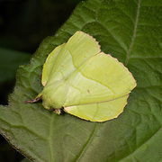 A Lasiocampidae moth, also known as eggars, snout moths or lappet moths.