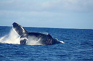 Humpback Whale, Megaptera novaeangliae, Raw Power, Maui Hawaii