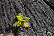 A fern gains a toehold within cracked lava. The walkable pit crater of Kilauea Iki (adjacent to the larger caldera of Kilauea) is still warm after last erupting in 1959, in Hawaii Volcanoes National Park, on the Big Island, Hawaii, USA. Established in 1916 and later expanded, the park (HVNP) encompasses two active volcanoes: Kilauea, one of the world's most active volcanoes, and Mauna Loa, the world's most massive shield volcano. HVNP is honored as a UNESCO World Heritage Site and International Biosphere Reserve.