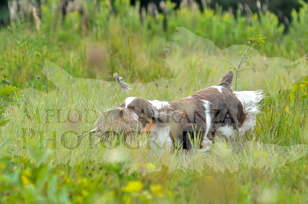 The 2017 Mid-America Clumber Spaniel Field Society Fun Hunt event took place at Rock River Kennels, in Beaver Dam, WI. Photography was made August 26, 2017.  The weather was beautiful for a photographer, diffuse light, with a nice wind, temperature was in the low 70's. A perfect day for working dogs!