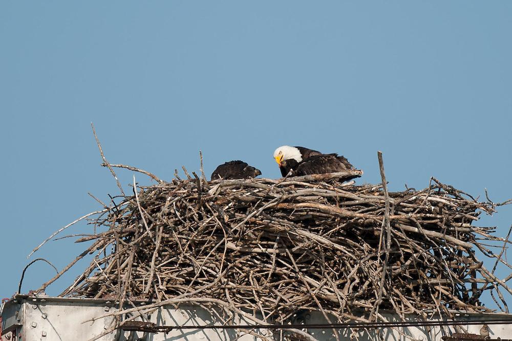 Adult feeding both eaglets