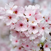Pink cherry blossom in bloom