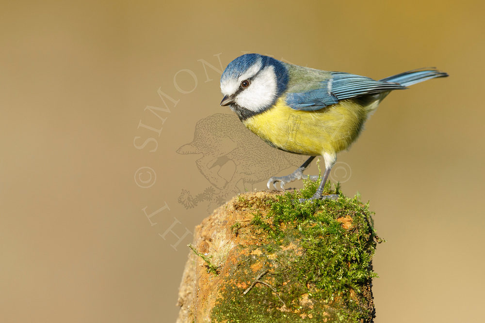 Blue Tit (Parus caeruleus) adult, perched on weathered post, South Norfolk, UK. November.