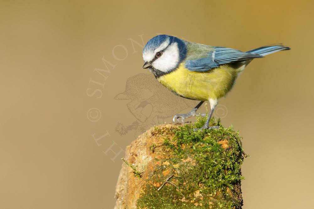 Blue Tit (Parus caeruleus) adult, perched on weathered post, South Norfolk, UK. November.