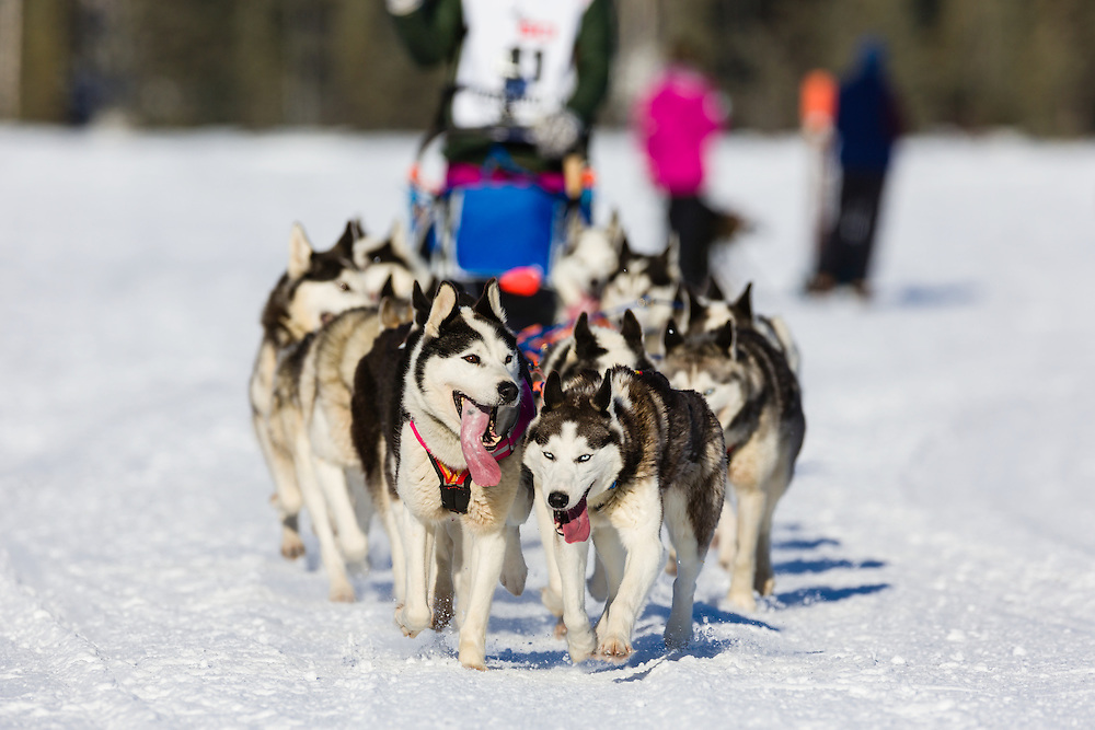 Musher Lisbet Norris competing in the 42nd Iditarod Trail Sled Dog Race on Long Lake after leaving the restart on Willow Lake in Southcentral Alaska.  Afternoon. Winter.