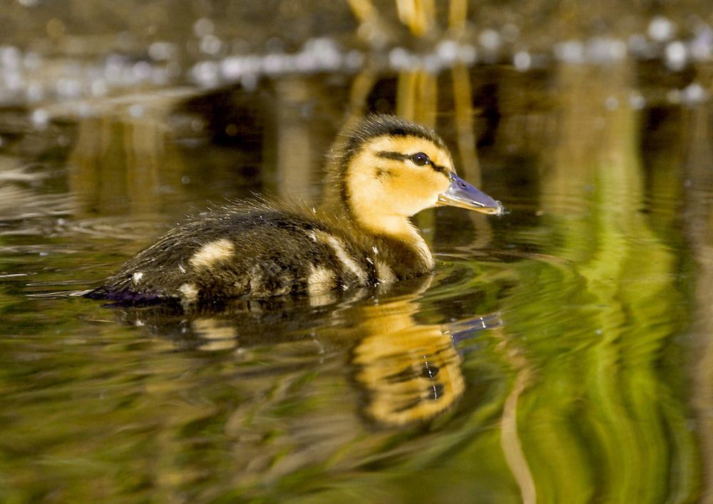 Alaska. Mallard (Anas platyrhynchos) duckling swimming in Cheney lake, Anchorage.