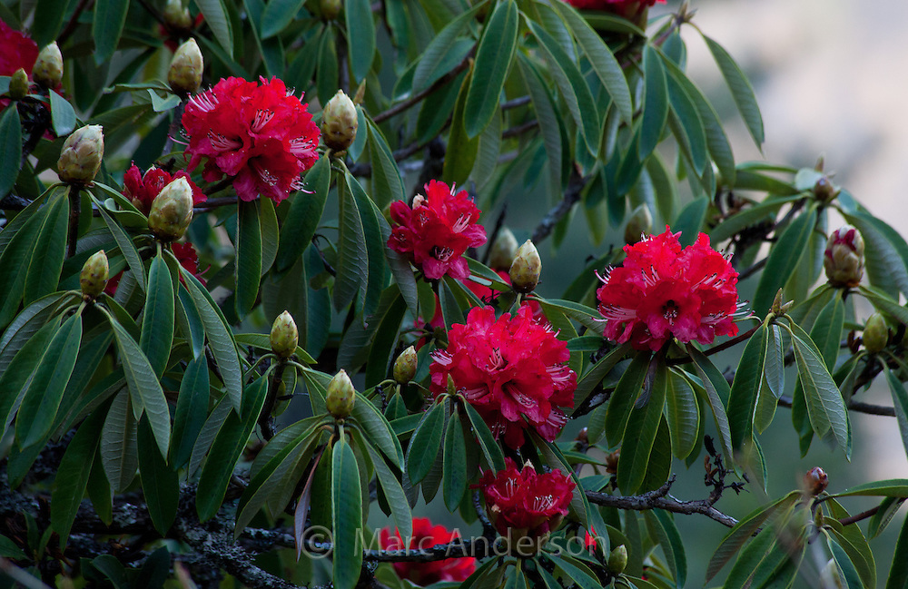 Red Rhododendrons, Rhododendron arboreum, Nepal