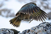 Kea (Nestor notabilis) Arthur's Pass, New Zealand | Kea oder Bergpapagei (Nestor notabilis) - Im Flug sieht man die leuchtend bunten Federn der Keas besonders gut. Arthur's Pass, Neuseeländische Alpen, Neuseeland.