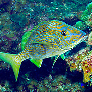 White Grunt inhabit reefs in Tropical West Atlantic; picture taken Little Cayman.