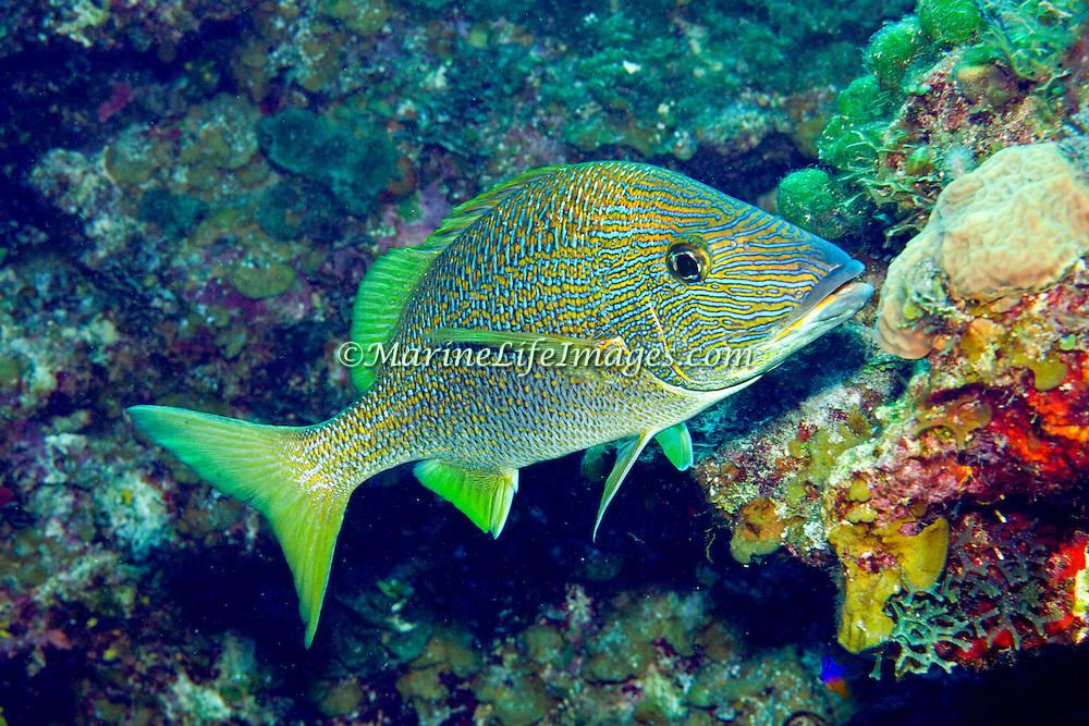 White Grunt inhabit reefs in Tropical West Atlantic; picture taken Little Cayman.