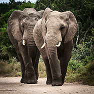 Two close Elephants are walking on the gravel road to my direction at Addo National Park South Africa.<br /> photo credit by: &copy;Claudio Zamagni