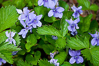 Switzerland. Springtime. Violets intermingled with strawberry leaves.
