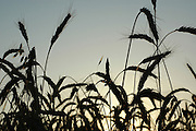 Close up of a silhouette of wheat growing in a field