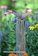 01081-007.14 Mourning Dove (Zenaida macroura) in flower garden Marion Co.   IL