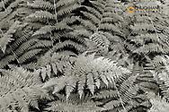 Bracken Ferns along Trail of the Cedars in Glacier National Park, Montana, USA