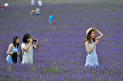 © Licensed to London News Pictures. 09/07/2017. Ickleford, UK. Vietnamese business students at Northampton University (L to R) Tam Nguyen, Oanh Cao and Phuong Nguyen visit Hitchin Lavender farm to take photos amongst the lavender.  Currently in full bloom, the lavender attracts visitors from far and wide to this popular family run farm.  Photo credit : Stephen Chung/LNP