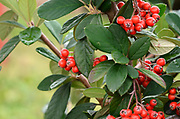 Red berries on a bush with green leafs background