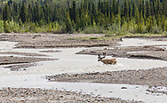 Caribou (Rangifer tarandus) fording Teklanika River in Denali National Park in Interior Alaska. Summer. Afternoon.