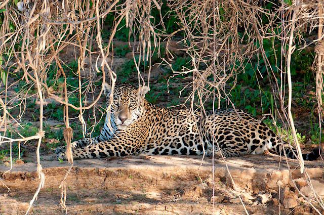 Jaguar sits along the Cuiba river in Pantanal Brazil