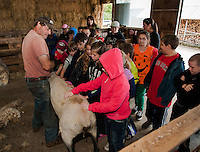 Jeff Keyser of Rambin' Vewe Farm in Gilford lets Mrs. Tothill's 4th graders from Gilmanton Elementary feel a freshly sheared Suffolk Sheep during their field trip on Wednesday.  (Karen Bobotas/for the Laconia Daily Sun)