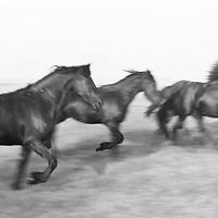 Jonge Friese paarden in galop