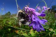 white-tailed bumble bee | Helle Erdhummel, Weißschwanz-Erdhummel (Bombus lucorum) beim Blütenbesuch, Nektarsuche, Bestäubung,
