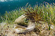 Giant Anemone (Condylactis gigantea) living on an old conch shell among the sea grass flats of Southwest Caye, Belize, Central America, Caribbean Sea.