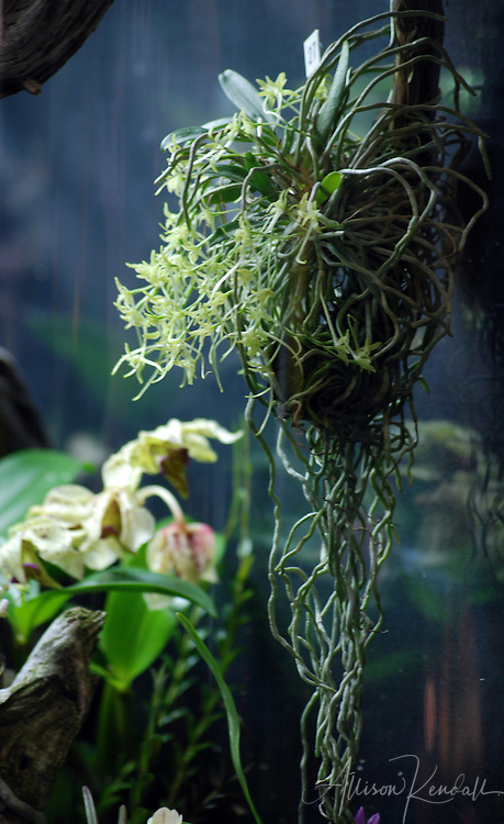 Pale orchid flowers trail long epiphytic roots