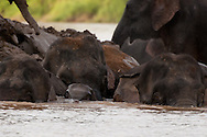 A herd of Borneo Pygmy Elephant shepherd a calf in the Kinabatangan River, Sabah, Malaysian Borneo.