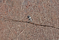 A male Belted Kingfisher overlooks a small stream in Utah on a January afternoon.