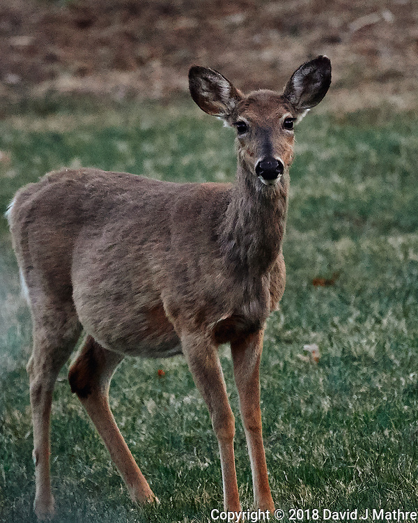 Scrubby Doe. Image taken with a Nikon D5 camera and 80-400 mm VRII lens (ISO 4000, 400 mm, f/5.6, 1/400 sec).