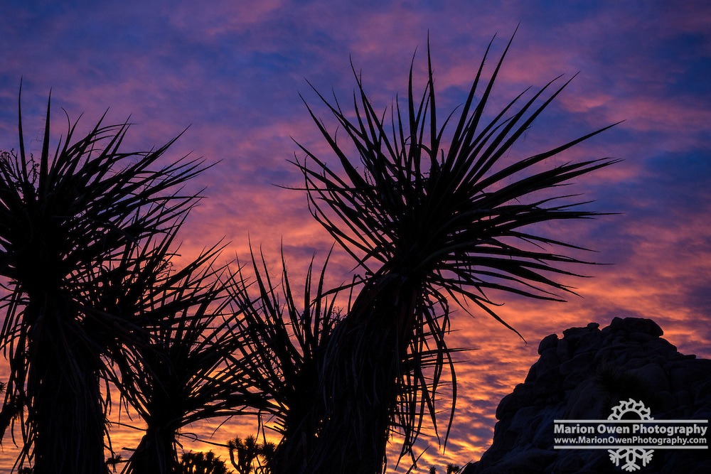 Yucca at Sunset in Joshua Tree National Park