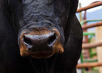 Head on low angle view of a large black bull in a pen.  Focus on nose.