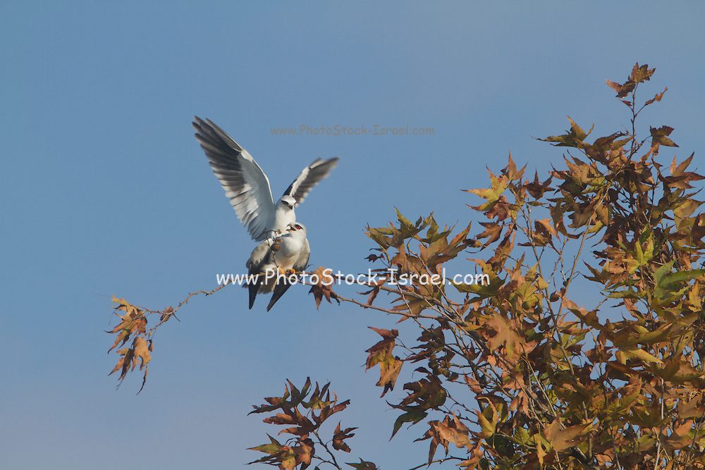 Black-winged Kite (Elanus caeruleus) mating on treetop, hulla valley, israel