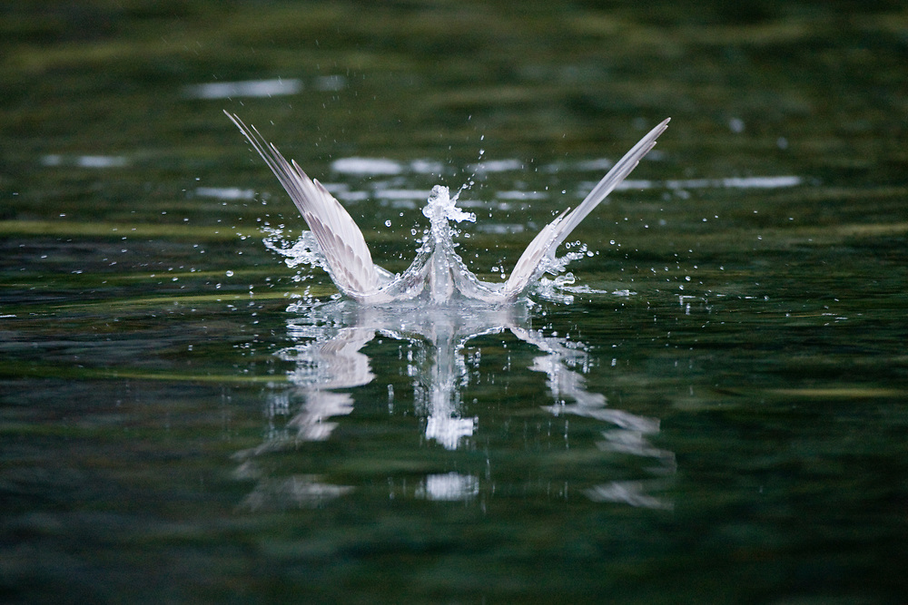 USA, Alaska, Katmai National Park, Kukak Bay, Seagull dives into salmon spawning stream at dusk