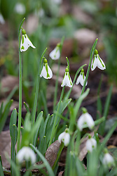 Galanthus 'South Hayes'. Snowdrop