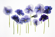 backlit pansy petals on a lightbox