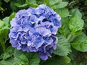 blue hydrangea flower, round, shrub