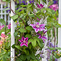 Annual and Perennial Vines: Lonicera x heckrottii, goldflame honeysuckle...