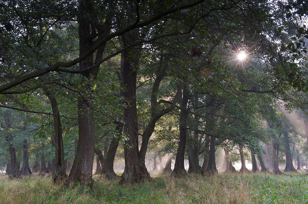 Alder forest (Alnus glutinosa), Klampenborg Dyrehave, Denmark. Fenced reserve enclosure.