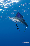 Atlantic sailfish, Istiophorus albicans ( considered by some to be a single species worldwide, Istiophorus platypterus ), investigates a teaser bait, off Yucatan Peninsula near Contoy Island and Isla Mujeres, Mexico ( Caribbean Sea )