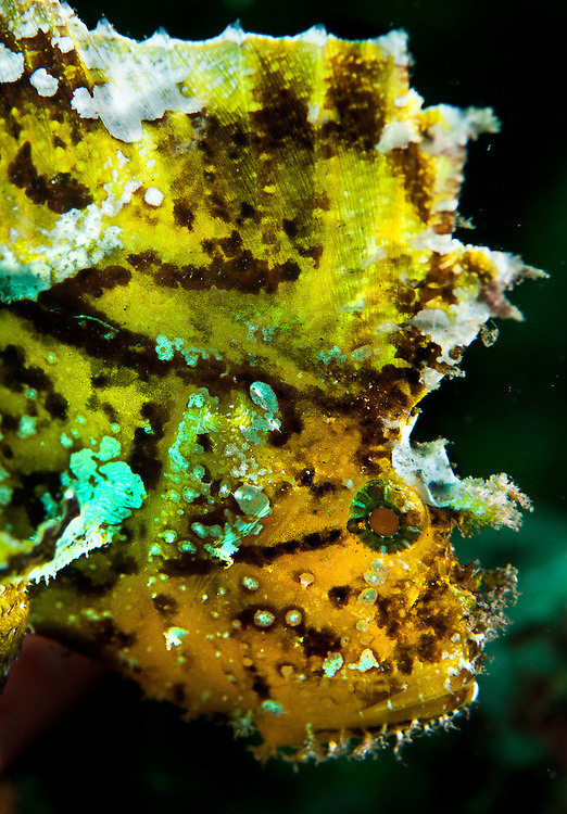 Leaf Scorpionfish. In the Philippines, muck divers head straight to Dauin to begin the hunt. It is considered one of the premier muck diving locations on the planet. On a bad day at Dauin, you can spot more rare animals than a decade out on the reef...