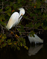 Snowy Egret Preening in a Mangrove Tree at Merritt Island National Wildlife Refuge. Image taken with a Nikon Df camera and 300 mm f/4 lens (ISO 100, 300 mm, f/4, 1/1250 sec)