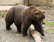 A brown bear (called a grizzly in the Lower 48) strides over a log in the Alaska Zoo, Anchorage, Alaska, USA. The brown bear (Ursus arctos) is an omnivorous mammal of the order Carnivora, found across northern Eurasia (including Russia and Scandinavia) and North America. The easiest place to see brown bears in the wild is by taking the bus on the Denali National Park Road in Alaska.