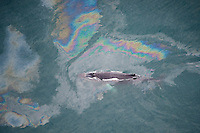 Humpback whale (Megaptera novaeangliae) swimming through oil slick, Skjalfandi Bay, northern Iceland - aerial