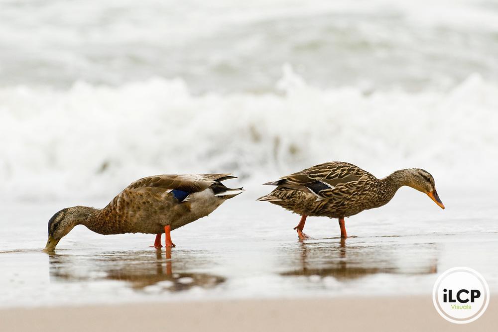 Mallard (Anas platyrhynchos) male and female foraging on beach, Scott Creek Beach, California